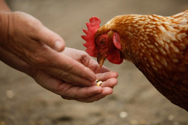 Image: Chicken eating from a person's hand