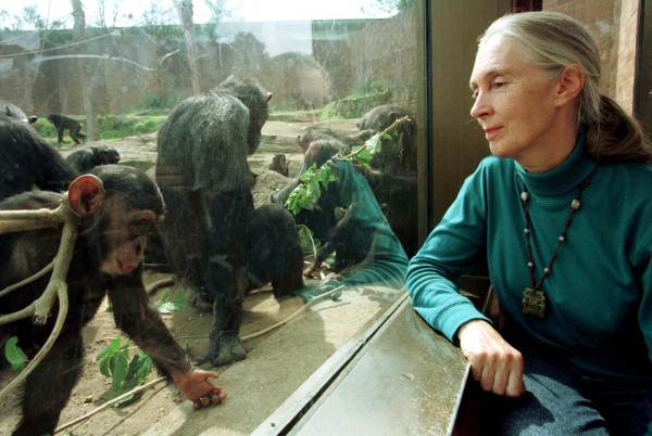 Image: Jane Goodall, chimpanzee researcher and naturalist, observes through glass some of Taronga Zoo's 25 member chimpanzee colony in Sydney on Aug. 31