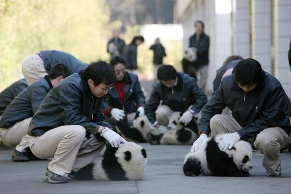 Giant Panda Cubs Move Into Nursery Playground