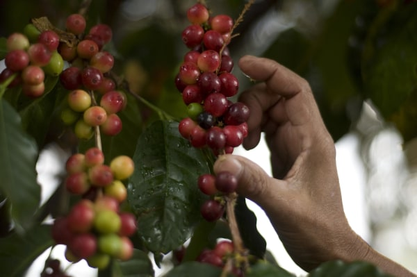 Image: A woman collects coffee beans at San Victor farm in Los Verdes village
