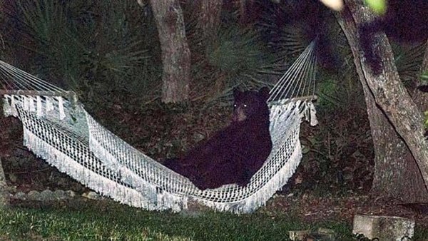 A black bear sits in a backyard hammock