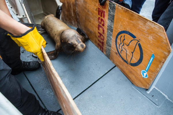 Image: A 1½-year-old male sea lion, nicknamed Ringo, is guided toward the edge of a coast guard boat