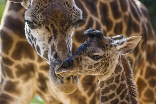 Image: giraffe