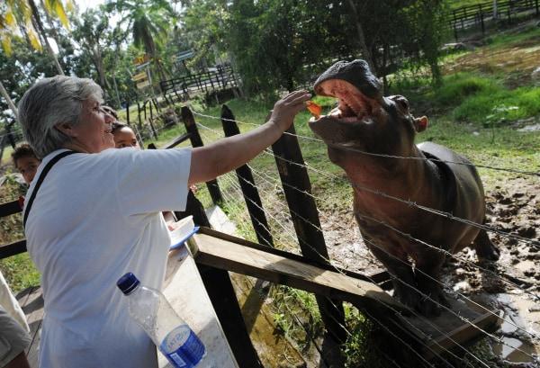 A visitor feeds hippopotamus Vanesa at the Napoles ranch
