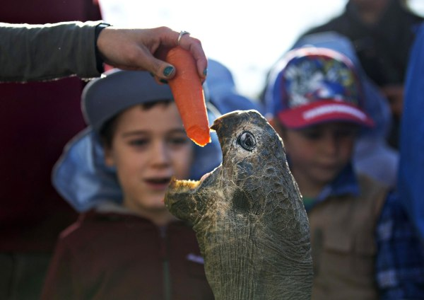 Image: Hugo, a 63-year-old Galapagos Tortoise, is enticed out of his enclosure with a carrot fed to him by a keeper before his annual weighing at the Australian Reptile Park in Somersby near Sydney