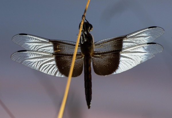 Image: Resting Dragonfly