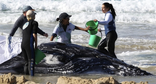 Image: Marine rescue workers from Sea World attempt to help a juvenile humpback whale stranded at Palm Beach on the Gold Coast, in Queensland