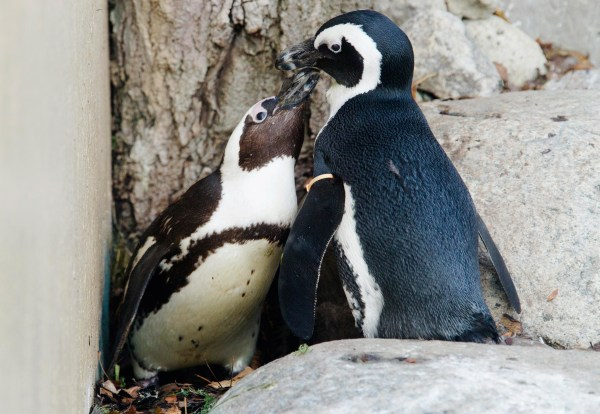 Image: African penguins Pedro and Buddy interact with each other at the Toronto Zoo