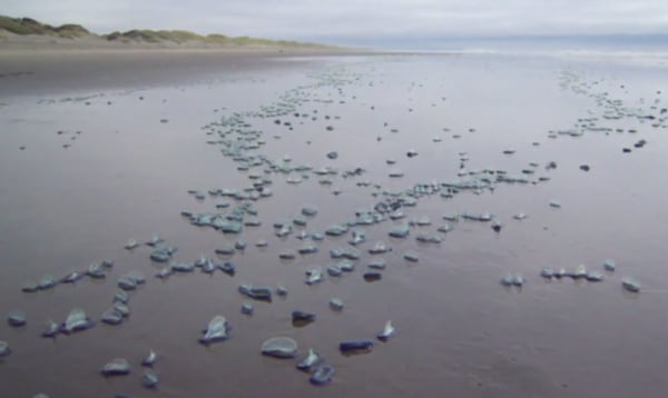 Image: Tiny sea creatures, called 'by-the-wind sailors'