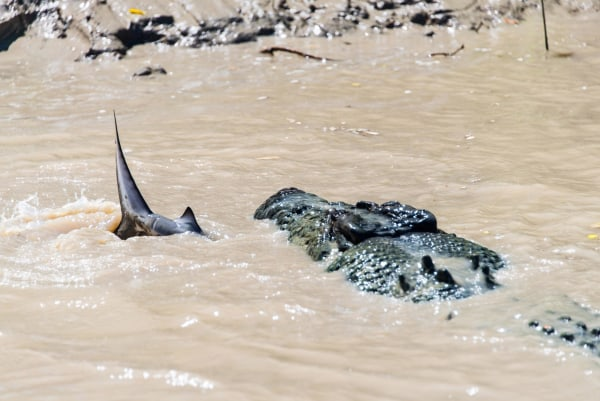 Five Metre Crocodile Attacks Bull Shark