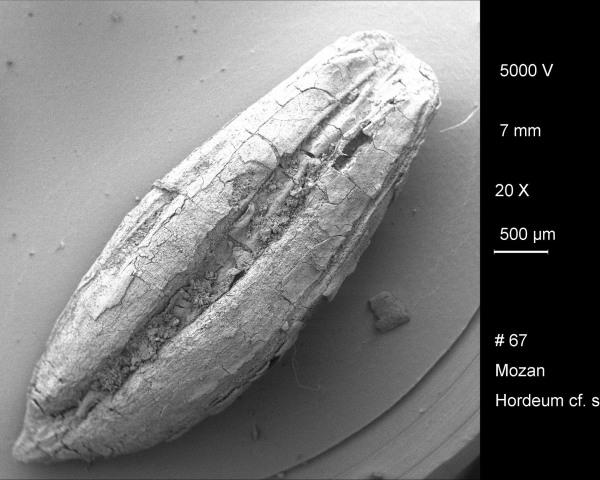 Image: Archaeobotanical barley grains