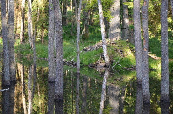 A beaver dam at the U.S. army's training facility in Grafenwoehr.