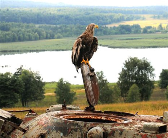 A sea eagle perches on a rusting tank at the U.S. army's training facility in Grafenwoehr, Germany.