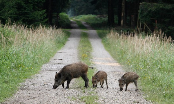 Image: Boars stroll near Munich, Germany, in 2010