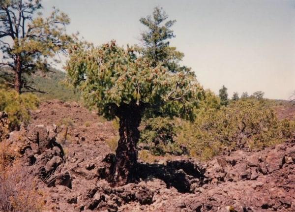 Image: Yoda the tree in 1993