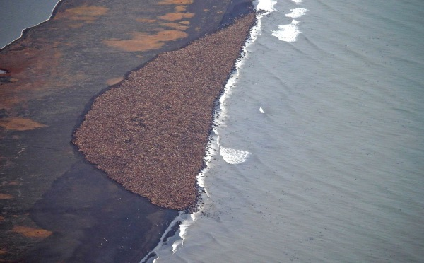 Image: In this aerial photo taken on Sept. 27, 2014, some 35,000 walrus gather on shore near Point Lay, Alaska
