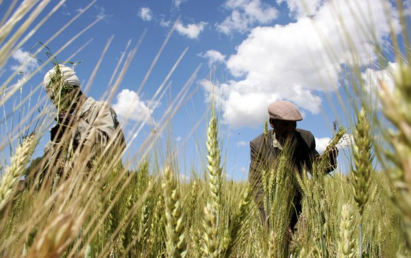 Image: Ethiopian farmers collect wheat in Abay