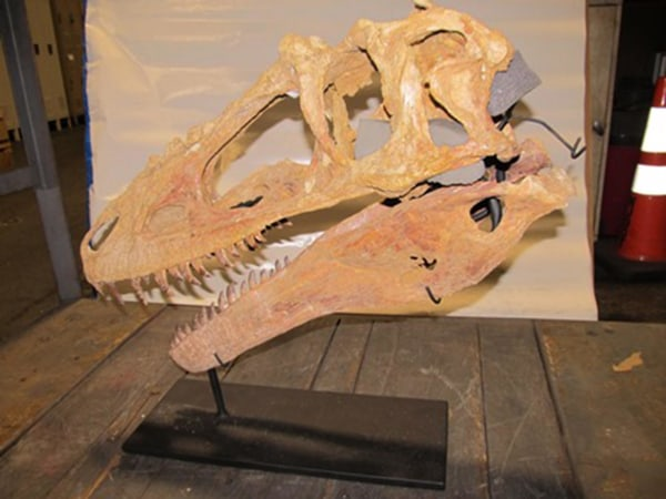 Image: Federal officials in New York say they've seized an illegal Alioramus fossil from France that was going to be sold for $250,000