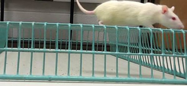 Image: A rat performs the ISP gridwalk test to gauge its coordination and balance.