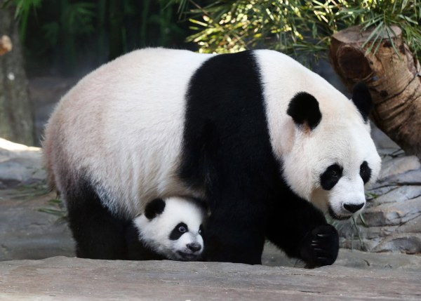 Image: Mother giant panda Juxiao is seen with one of her triplets at Chimelong Safari Park