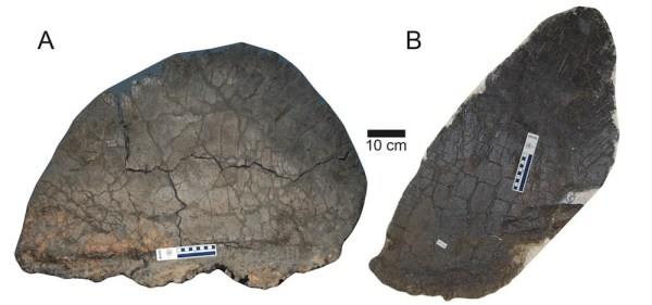 Image: Wide morph plate and tall morph plate from Stegosaurus