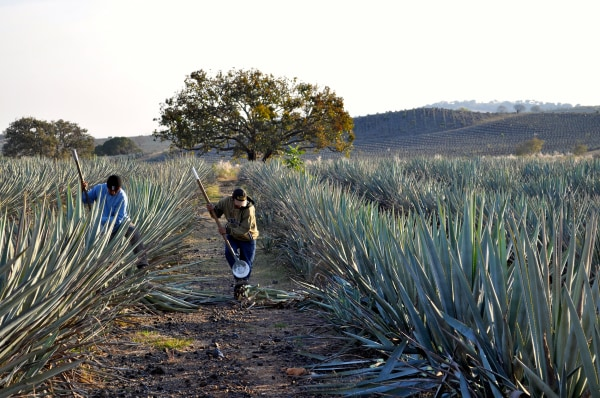 Image: Workers in Agave fields