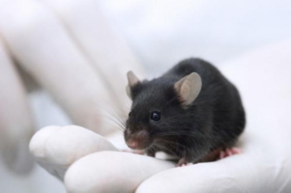 Image: Lab mouse