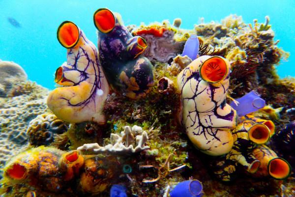 Image: Tunicates