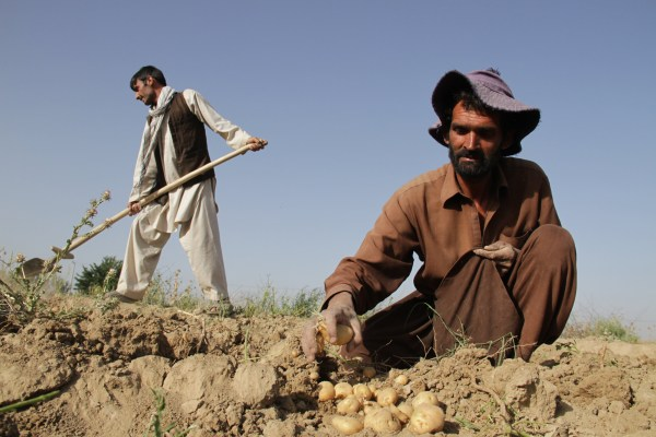 Image: Afghan farmers harvest potatoes