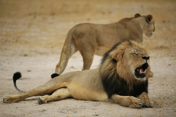 "Image: A Zimbabwean lion called ""Cecil"""