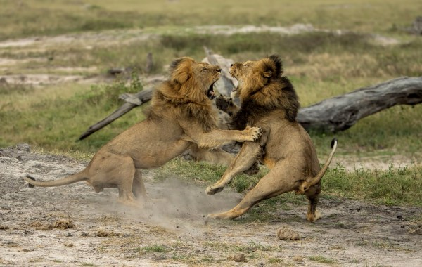 Image: Cecil the lion fighting with Jericho