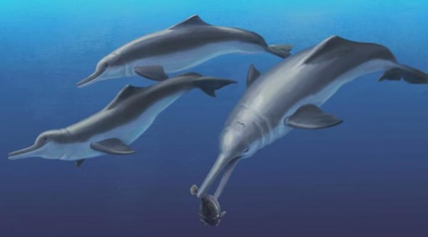 River dolphin