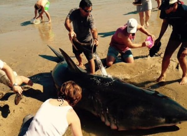 IMAGE: Bucket brigade for shark on Cape Cod