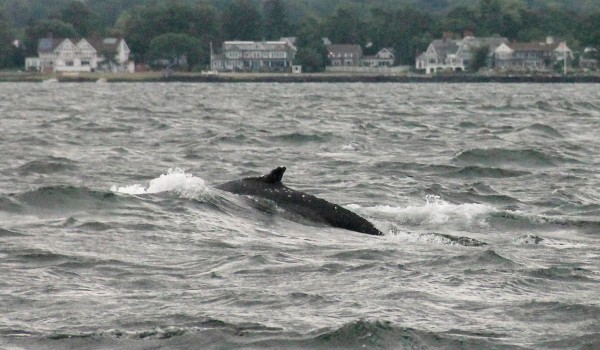 Image: A humpback whale swims in Long Island Sound