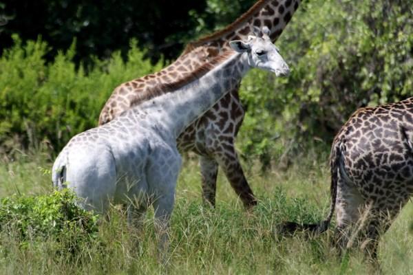 Image: Omo, a rare white giraffe, roams Tanzania's Tarangire National Park
