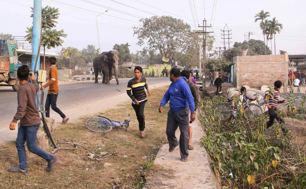Image: wild elephant strayed in Siliguri, India