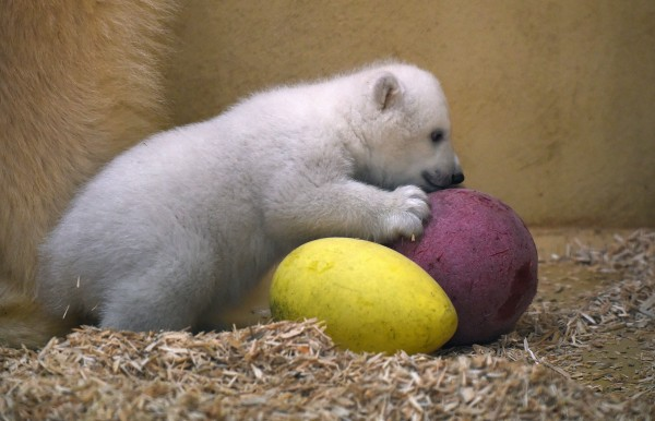 Image: A female baby polar bear plays with a ball
