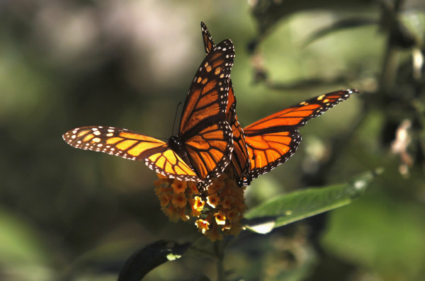 Image: Monarch butterflies cling to a plant at the Monarch Grove Sanctuary in Pacific Grove