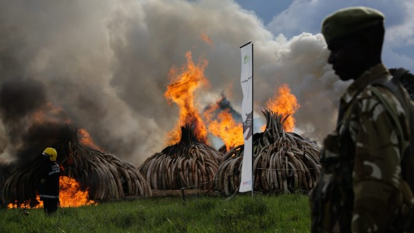 Image: Kenya burns 105 tonnes of ivory
