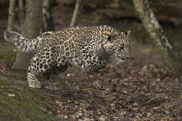 Image: A leopard in the Sochi leopard center.