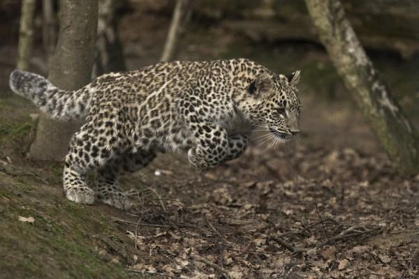 Image: A leopard in the Sochi leopard center.