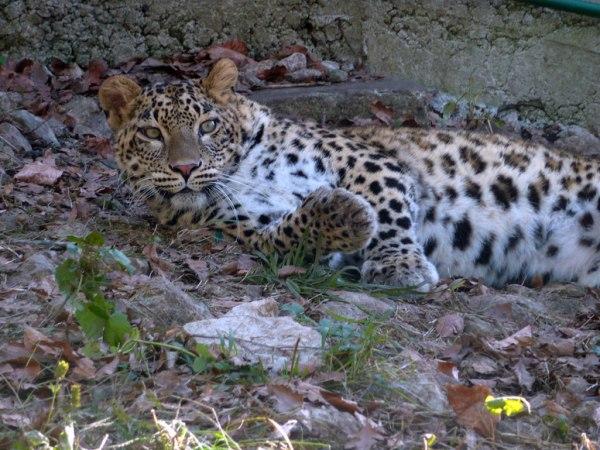 Image: A Persian leopard