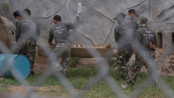 Image: Officials worked to remove the tigers on Monday