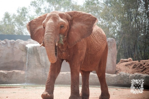 Image: An African elephant feeds at the zoo in Rabat, Morocco.
