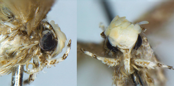 Image: Moth species Neopalpa donaldtrumpi.