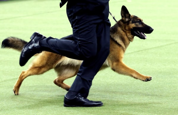 Image: Rumor, a German shepherd and winner of Best In Show at the 141st Westminster Kennel Club Dog Show, is run by Handler Kent Boyles during the final judging at Madison Square Garden in New York City