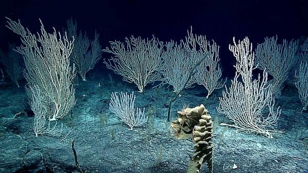 Image: Corals about 1.5 miles deep on Sampson Seamount in the Wake Atoll Unit of Pacific Remote Islands Marine National Monument.