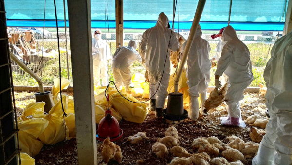 Image: Health workers slaughter chickens on a farm in Yunlin County, Taiwan