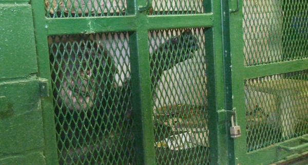Image: Tommy the chimpanzee in a cage