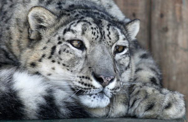 Image: A female snow leopard